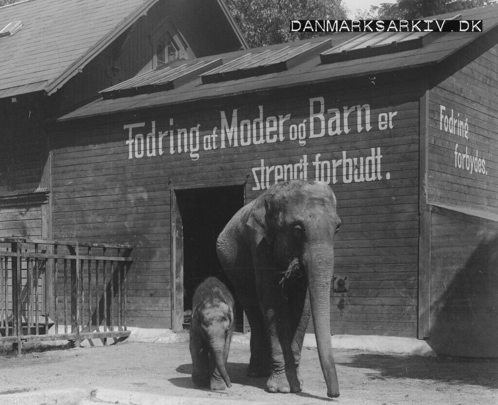 Københavns Zoologiske Have - Elefanterne Ellen og Kasper - ca 1915